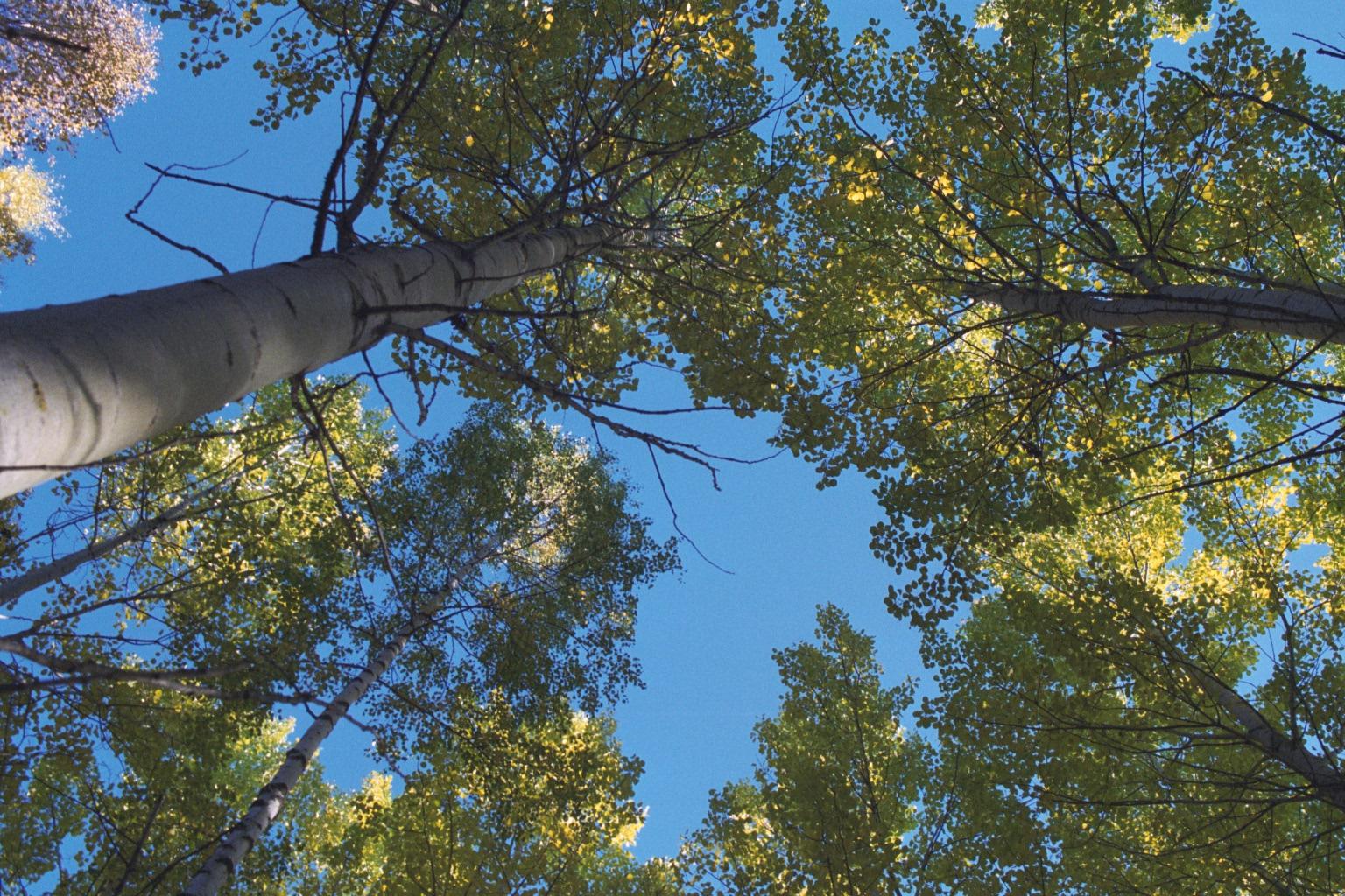 Trädtoppar